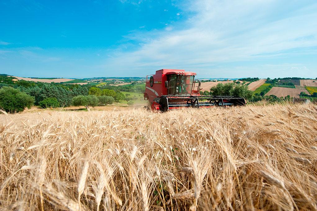 Durum_wheat_used_in_pasta_production_3_0